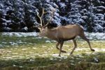 Thumbnail Red Deer Cervus elaphus, Austria, Europe