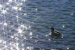 Thumbnail Mallard Anas platyrhynchos, Misurina lake, Dolomites, Italy, Europe