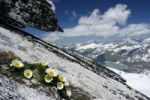Thumbnail Flowers on peak of Stubacher Sonnblick, Hohe Tauern National Park, Alps, Austria, Europe