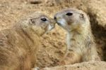 Thumbnail Black-tailed Prairie Dogs Cynomys ludovicianus