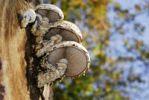 Thumbnail Shiitake Lentinula edodes, Asian edible mushroom