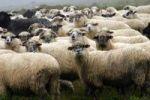 Thumbnail Sheep, Varasoaia valley, Bihor Mountains, Parcul Natural Apuseni, Romania, Europe
