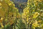 Thumbnail Vineyard and mixed forest, hillside, Stuttgart, Baden-Wuerttemberg, Germany, Europe