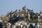 Thumbnail Brown Pelicans Pelecanus occidentalis on a rock, Yaquina Head State Park, Oregon, USA, North America