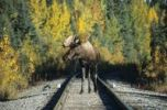 Thumbnail Moose or Elk bull Alces alces on a railway line, Alaska, North America