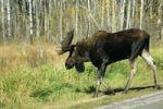 Thumbnail Moose or Elk bull Alces alces, Elk Island National Park, Alberta, Canada, North America