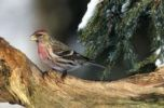 Thumbnail Redpoll Carduelis flammea in Winter