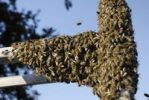 Thumbnail Swarm of bees Apis melifera gathering on an aluminium ladder
