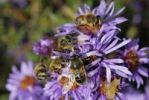 Thumbnail Hoverflies, Episyrphus balteatus and bees Api mellifera on aromatic aster blossom Aster oblongifolius
