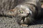 Thumbnail Lolling cat Felis catus