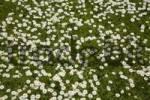 Thumbnail Daisy Meadow Bellis perennis
