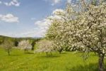 Thumbnail Blossoming apple trees, Bucklige Welt, Lower Austria, Austria, Europe