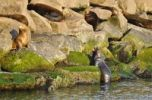 Thumbnail Steller or Northern Sea Lion Eumetopias jubatus on rocks, Oregon, USA