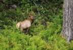 Thumbnail Elk or Wapiti Cervus canadensis in Elk Cove, Redwood National Park, California, USA