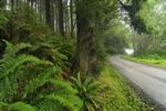 Thumbnail Ferns and gravel road in Redwood National Park, California, USA