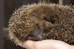 Thumbnail Hedgehog Erinaceus europaeus on hand