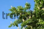 Thumbnail Flowering Horse-chestnut Aesculus hippocastanum