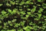 Thumbnail Wall with ferns, Fern Canyon, Redwood National Park, California, USA, North America