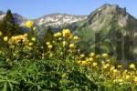 Thumbnail Globeflower Trollius europaeus Switzerland