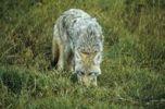 Thumbnail Coyote Canis latrans, Alberta, Canada, North America
