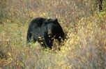Thumbnail American Black Bear Ursus americanus, Alaska, North America