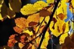 Thumbnail Autumn leaves, European Beech or Common Beech Fagus sylvatica, Bavaria, Germany, Europe