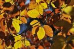 Thumbnail Autumn leaves, European Beech or Common Beech Fagus sylvatica