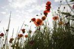 Thumbnail Poppy field Papaver, Catalonia, Spain, Europe