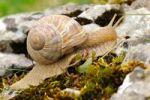 Thumbnail Burgundy snail Helix pomatia