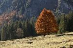 Thumbnail Autumnal forest, red-coloured leaves on a tree, Grosser Ahornboden in Eng, Risstal Valley, Austria, Europe