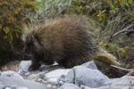 Thumbnail North American Porcupine Erethizon dorsatum, in a creek bed, Canadian Porcupine, Common Porcupine, Donjek Route, Kluane National Park, St. Elias Mountains, Yukon Territory, Canada, North America