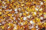 Thumbnail Autumn leaves on the ground, forest floor, maple leaves Acer spec., autumn foliage, autumn colored leaves