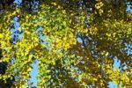 Thumbnail Ginkgo tree, maidenhair-tree Ginkgo biloba, leaves in autumn colours, yellow foliage, medicinal plant