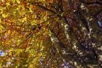Thumbnail Common beech, European beech Fagus sylvatica, leaves in autumn colours, in back light, view from below