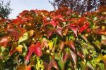 Thumbnail Boston Ivy, Japanese creeper, Japanese ivy Parthenocissus tricuspidata in autumn colours