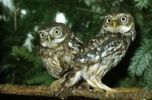 Thumbnail Little Owls Athene noctua, Baden-Wuerttemberg, Germany, Europe