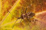 Thumbnail Western Conifer Seed Bug Leptoglossus occidentalis on an autumn leaf