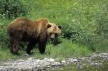 Thumbnail Grizzly Bear or Silvertip Bear Ursus arctos horribilis, Alaska
