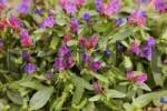 Thumbnail Vipers bugloss  Echium plantagineum  Fuerteventura