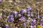 Thumbnail stock  Matthiola bolleana  - endemic plant on Fuerteventura and Lanzarote