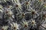 Thumbnail Euphorbia handiensis - endemic plant on Fuerteventura  Jandia