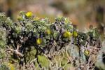 Thumbnail oxeye  Nauplius sericeus = Asteriscus sericeus  endemic plant on Fuerteventura