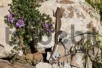 Thumbnail lizard and Fagonia cretica , Fuerteventura , Canary Islands