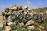 Thumbnail Hierba de la rabia  Lobularia canariensis marginata  , Fuerteventura , Canary Islands