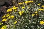 Thumbnail Andryala glandulosa , Fuerteventura , Canary Islands