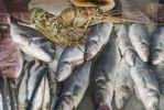 Thumbnail Paphos, satwater fish, still life, Cyprus