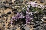Thumbnail Sea Lavender  Limonium papillatum  , Fuerteventura , Canary Islands
