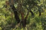 Thumbnail Harvested Cork Oak Quercus suber trees in a Cork Oak forest, Sardinia, Italy, Europe