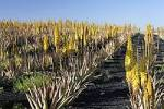 Thumbnail plantation of Aloe vera , Tuineje , Fuerteventura , Canary Islands