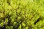Thumbnail Moss, Urn Haircap Pogonatum urnigerum with dew drops, Nicklheim, Bavaria, Germany, Europe